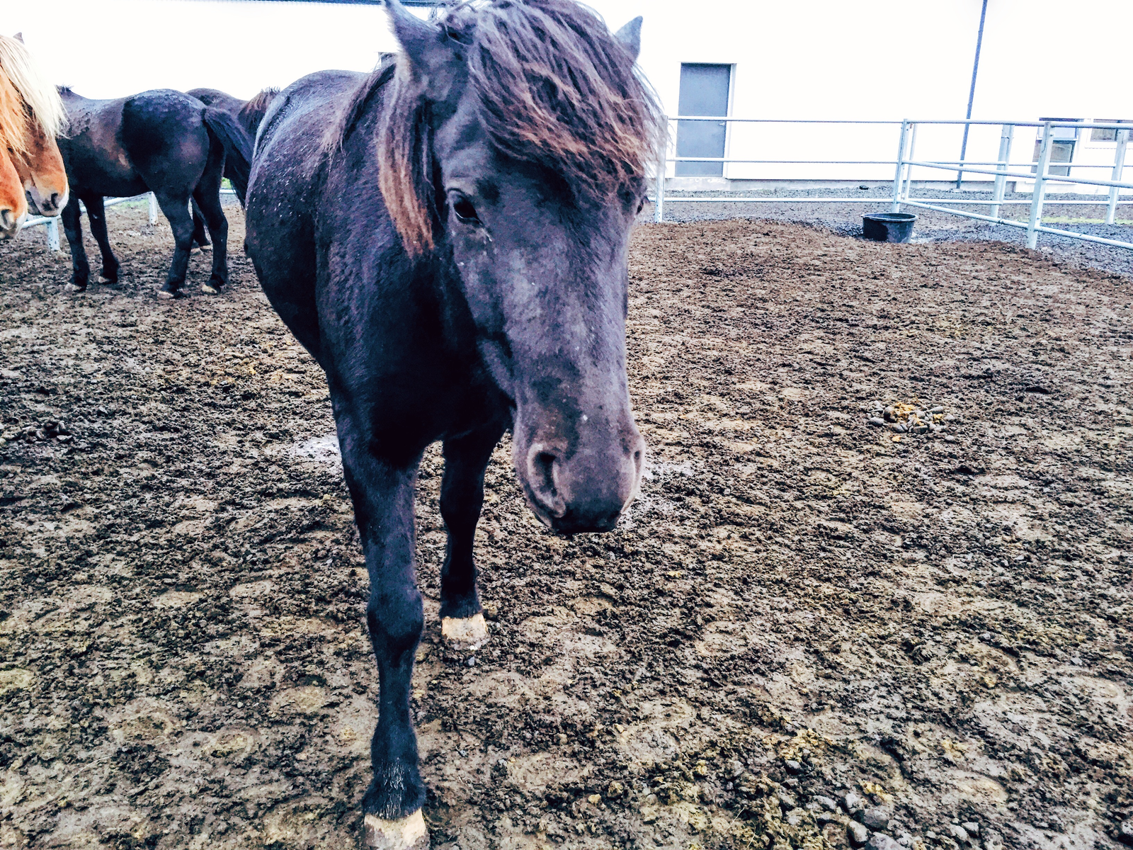 Fakasel Horse Park icelandic horses - things to do with only 48 hours in Iceland