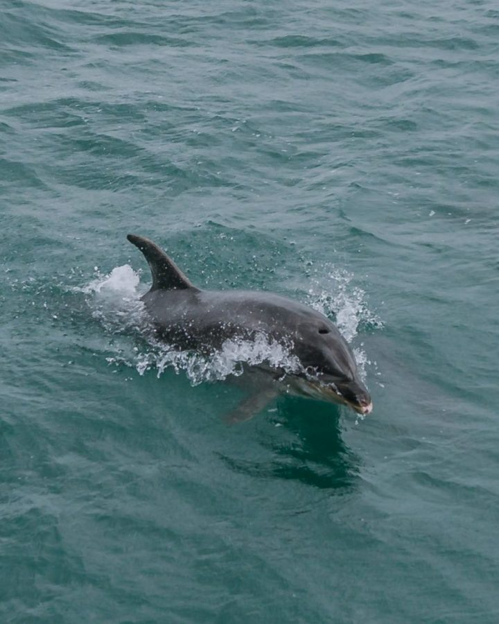One of the best things to do in Paihia is a Bay of Islands cruise to see dolphins