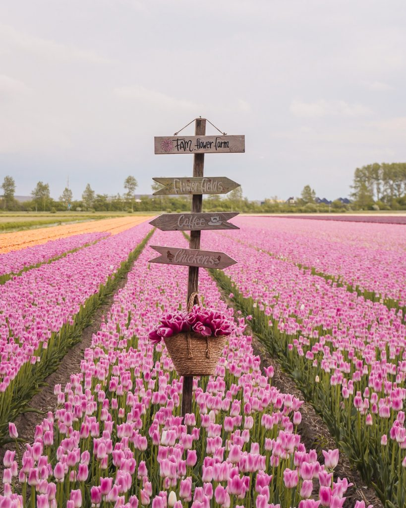 Tourists have caused thousands of euros of damage to tulip fields in the Netherlands so make sure to follow this tulip field etiquette when you visit!