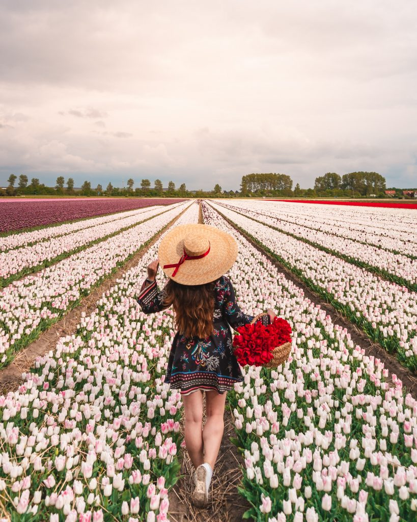 Some of the best tulips fields in the Netherlands are located in the Bollenstreek, in towns such as Hillegom, Lisse and Noordwijkerhout