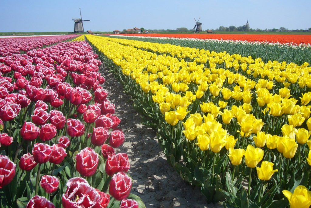 Alkmaar is a beautiful city and the tulip fields are impressive during spring.