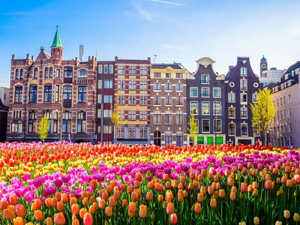 Den Helder is the biggest region for tulip fields in the Netherlands!