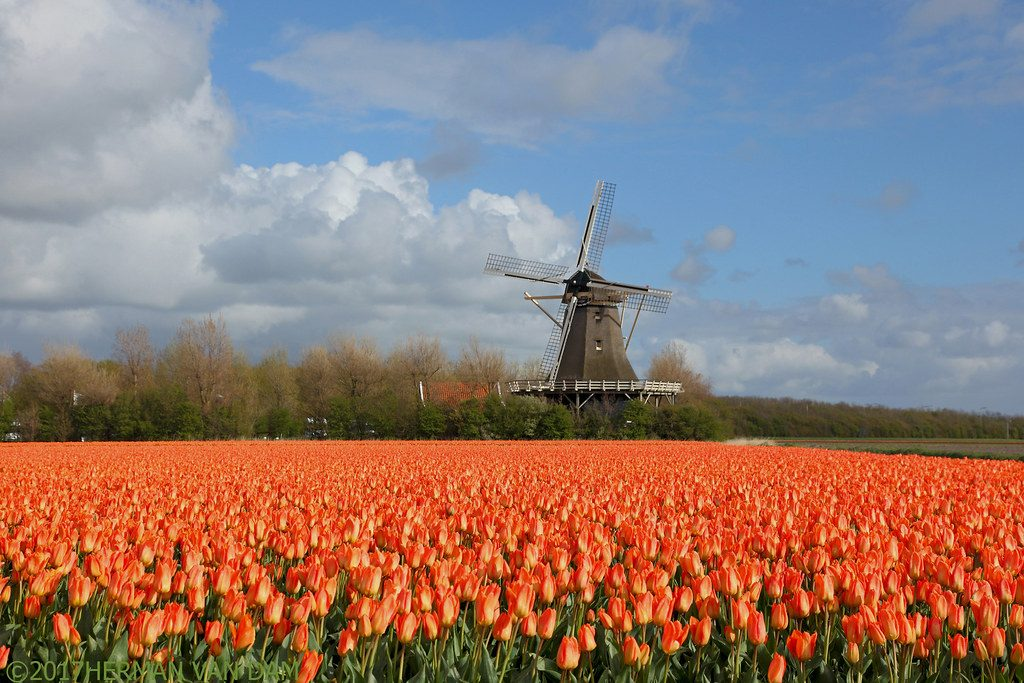 One of the best places for tulips near Amsterdam is 't Zand, with the impressive windmills and extensive flower fields.