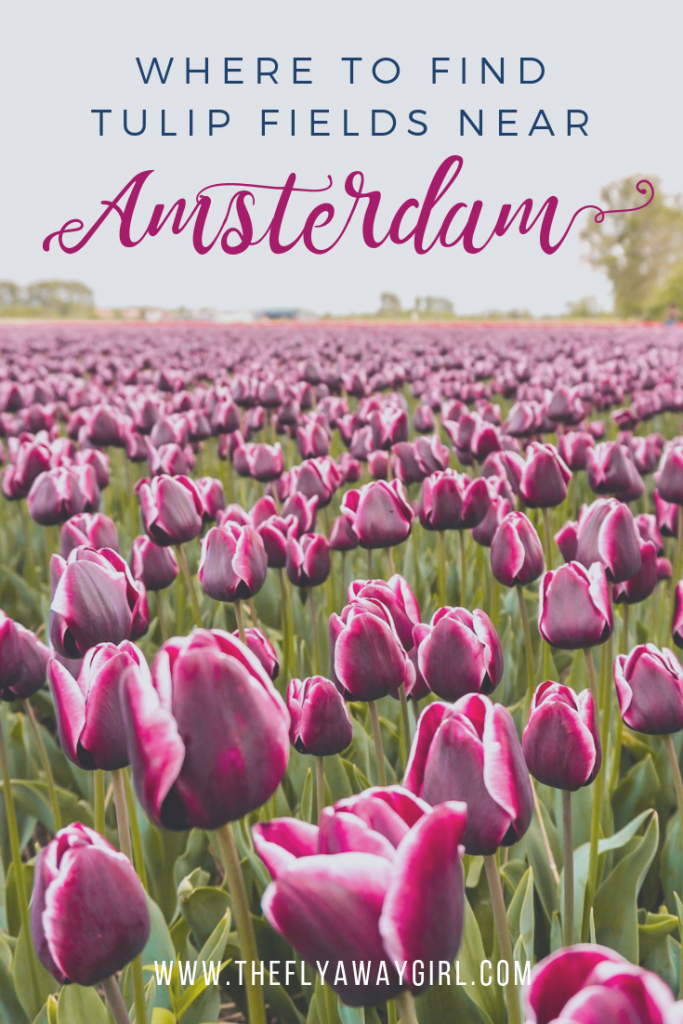 There are so many beautiful tulip fields near Amsterdam so click through to read about the best ones to visit! These tulip fields in the Netherlands are a must visit during spring. #netherlands #holland #tulips #amsterdam